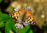 Painted Lady(Vanessa cardui)