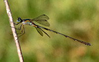 Eastern Willow Emerald Damselfly,male(Lestes parvidens)