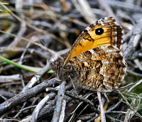 Grayling(Hipparchia semele)