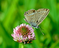 Long-tailed Blue (Lampides boeticus)
