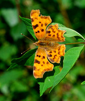 Comma(Polygonia c-album)