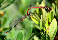 Small Red Damselfly,pair(Ceriagrion tenellum)