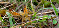 Silver-spotted Skipper,male(Hesperia comma)