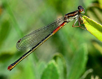 Small Red Damselfly,female(Ceriagrion tenellum)