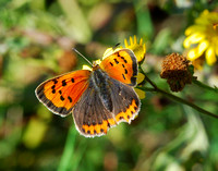 Small Copper(Lycasna phlaeas)