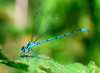 Azure Damselfly,male(Coenagrion puella)