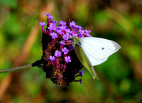 Small White(Pieris rapae)