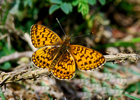 Small Pearl-bordered Fritillary(Clossiana selene)
