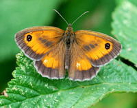 Gatekeeper male(Pyrnia tithonus)