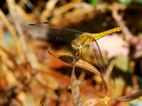 Keeled Skimmer,female(Orthetrum coerulescens)ssp.anceps.