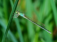 Scarce Blue-tailed Damselfly,female in transitional phase(Ischnura pumilio)
