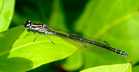 Azure Damselfly,immature female(Coenagrion puella)