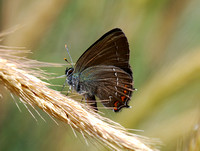 Ilex Hairstreak(Satyruim ilicis)
