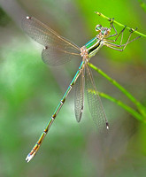 Southern Emerald Damselfly,male(Lestes barbarus)
