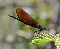 Beautiful Demoiselle,immature male(Calopteryx virgo)