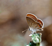 Grass Jewel(Chilades troclylus)