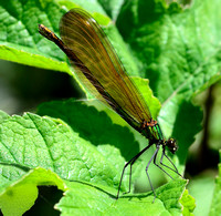 Beautiful Demoiselle,female(Calopteryx virgo)