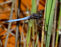 Keeled Skimmer,male(Orthetrum coerulescens)