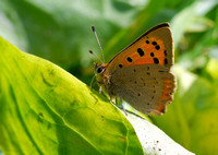 Small Copper(Lycaena phlaeas)