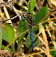 Keeled Skimmer,male(Orthetrum coerulescens)ssp.anceps.