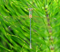 Southern Emerald Damselfly,male,(Lestes barbarus)